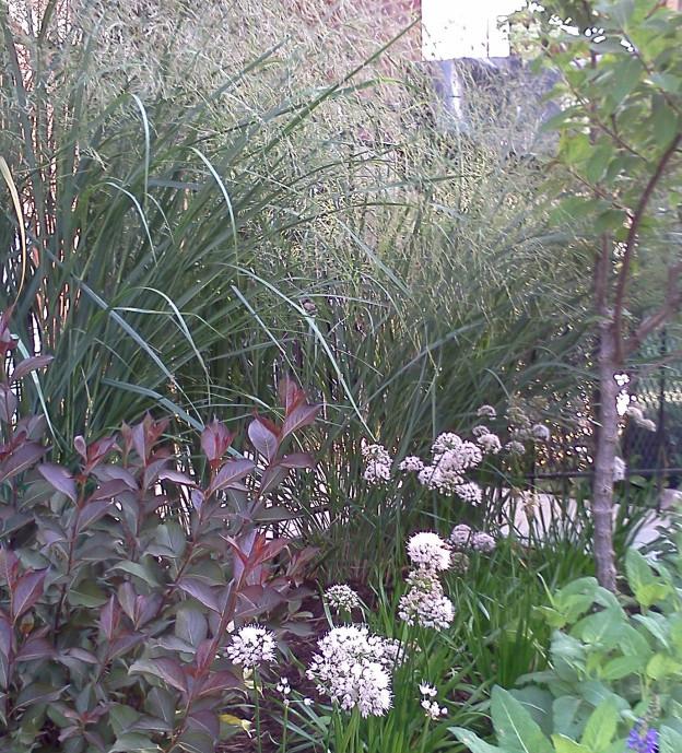 Allium Front 2